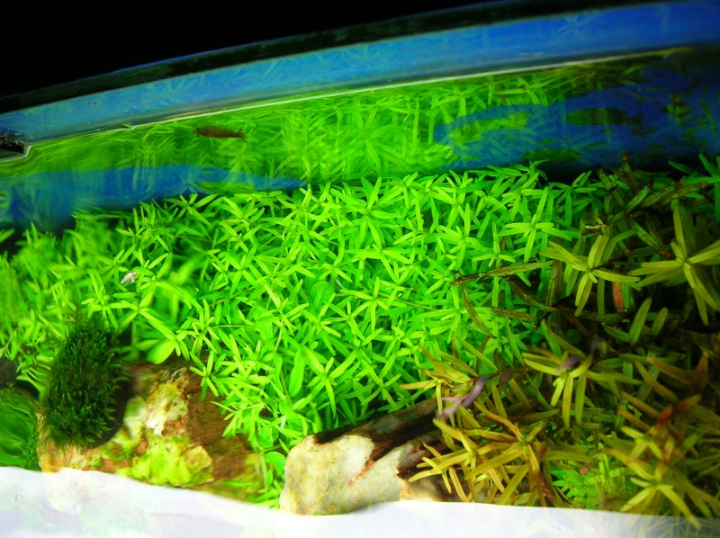 Aquascaping World Competition - Gallery - red iwagumi by Yun Teng Fung