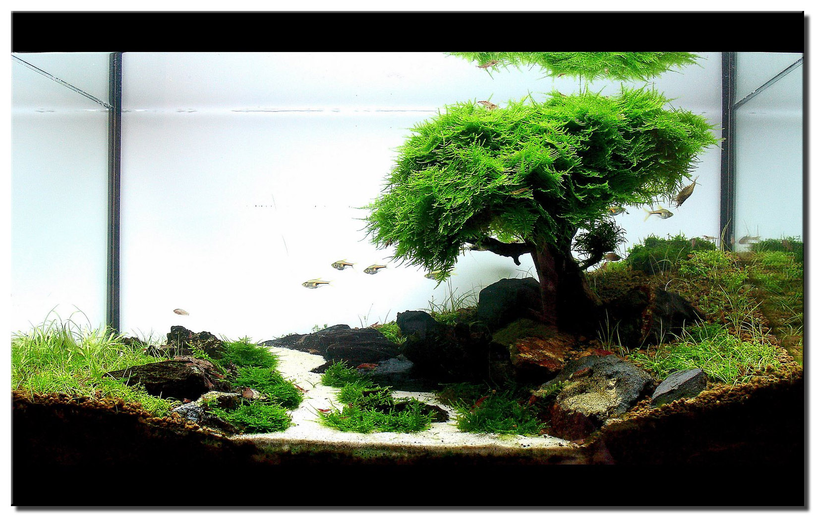 Aquascape of the month september 2008 pinheiro manso Aquarium landscape
