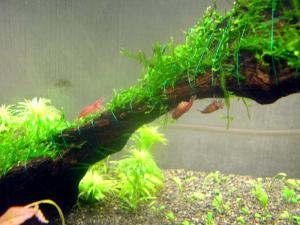 My shrimp tank | AquaScaping World Forum