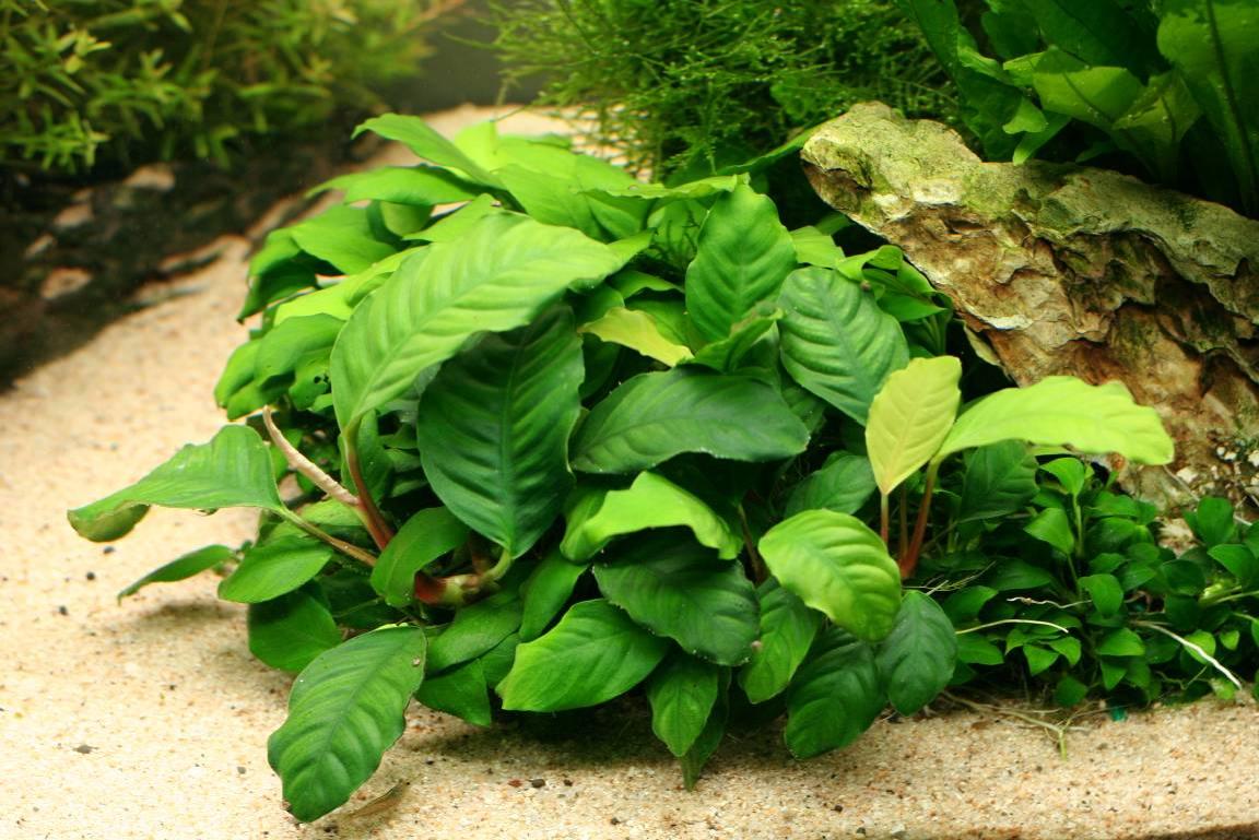 The Aquatic Plant Society – Anubias barteri v. Coffeefolia