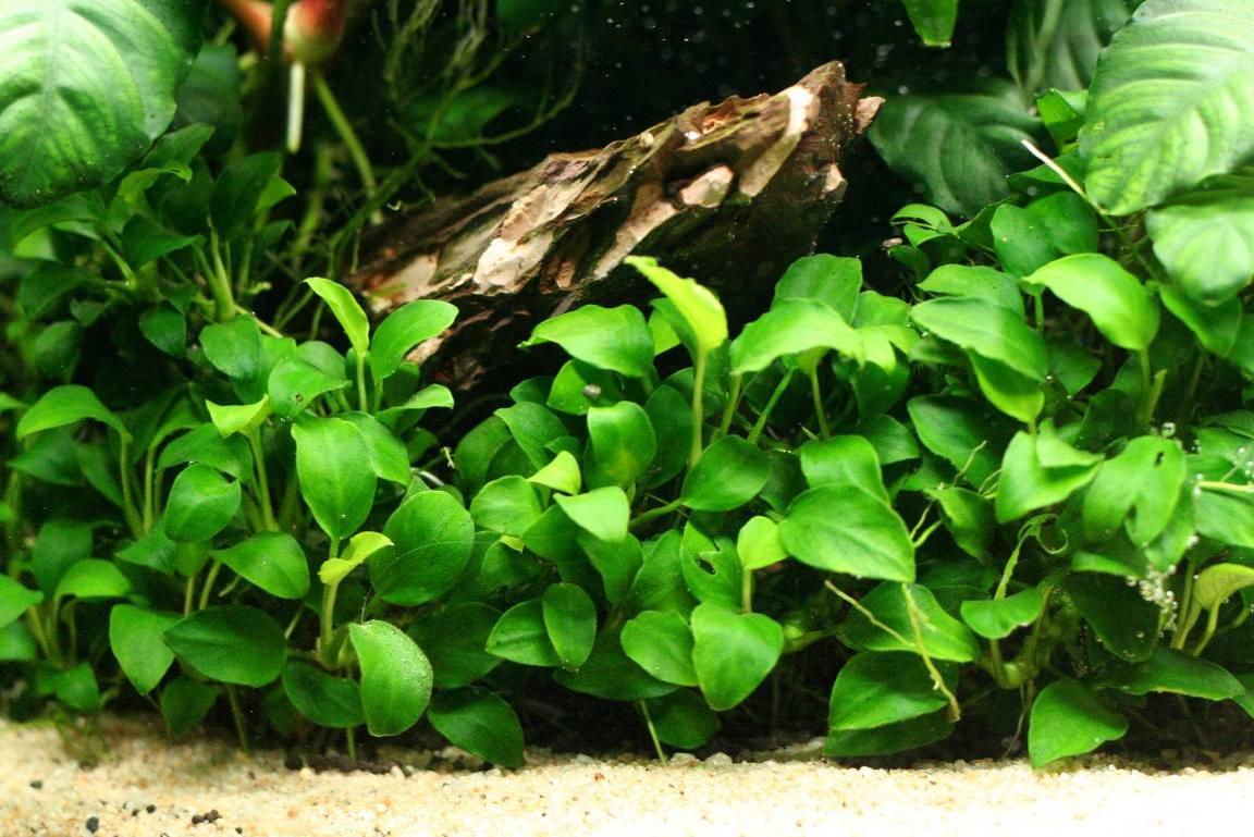 Free Express Post Double Pack Anubias Nana Petite Live Aquarium Aquatic Plants Ebay