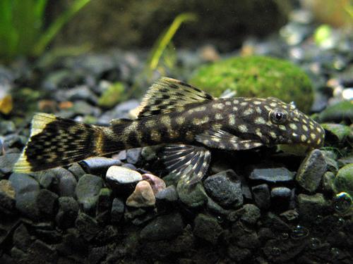 Bushynose Pleco : Albino Gold Bushy Nose Plecostomus L-144