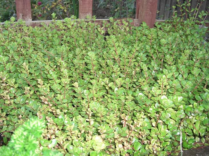 Rotala rotundifolia - Terramarina