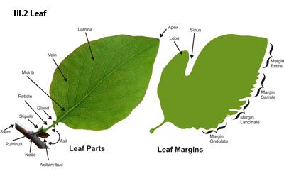2Leaf aquascaping world magazine plant anatomy part 2 the leaf