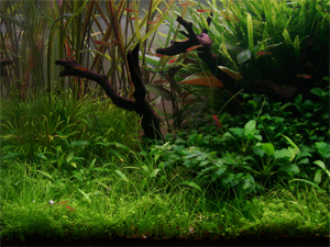 Hemianthus callitrichoides and Dwarf hairgrass combination grown with 2.8 watts per gallon.