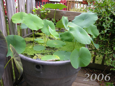 2006 Tub with Lotus Nelumbo 'Momo Botan'