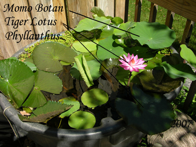 2007 Tub with Flowering Lotus