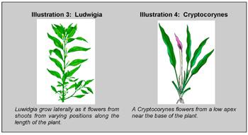 Illustration 3: Ludwigia and Crptocorynes