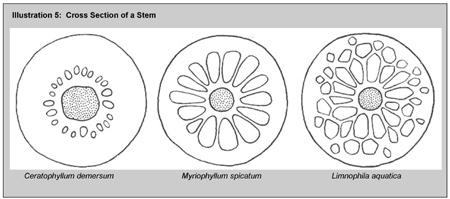 Illustration 5: Cross section of stem