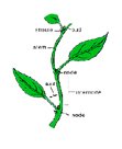 Plant Anatomy: Part 1 The Stem